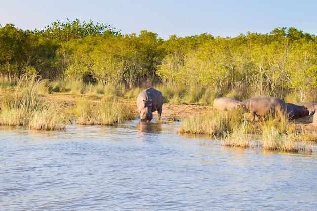 Stado hipopotamów śpiących wzdłuż rzeki od parku wetlandzkiego isimangaliso w rpa. safari w dzikiej przyrodzie. zwierzęta w przyrodzie
