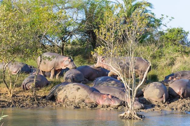 Stado hipopotamów śpiących wzdłuż rzeki z isimangaliso wetland park