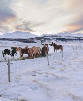 Stado islandzkich koni na zaśnieżonym polu pasące się