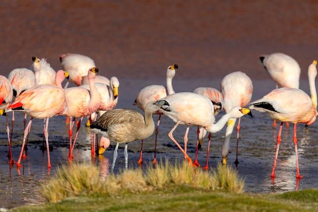 Stado jamesa flamingo i ich młodych ptaków w laguna colorada.bolivia. ameryka południowa
