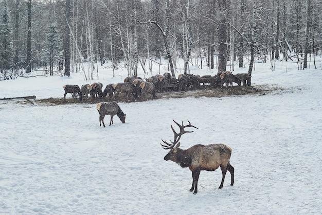 Stado jeleni dokarmianie zimą na fermie maral