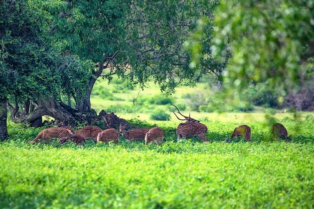 Stado jeleni dziko plamistych lub żerujących na osi