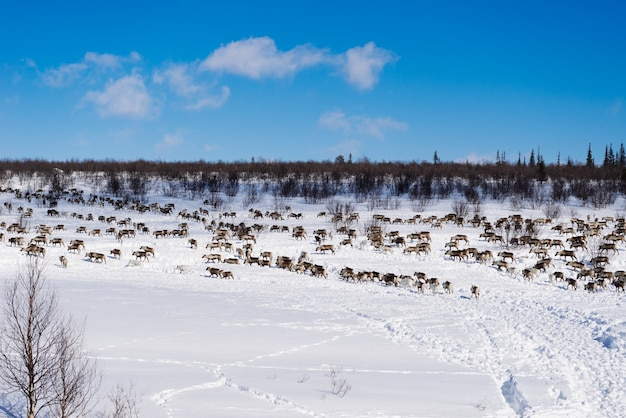Stado jeleni na tle zaśnieżonego pola w słoneczny dzień