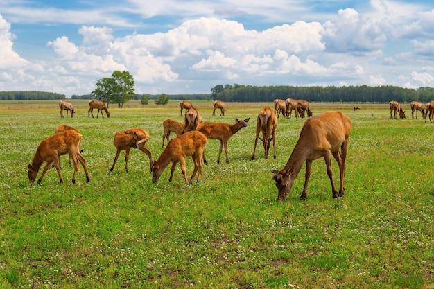 Stado jeleni pasących się na zielonej łące. dzikie zwierzęta w przyrodzie. jeleń żujący trawę