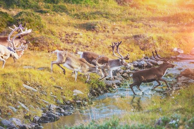 Stado jeleni przecina strumień w laponii. renifery w północnej norwegii