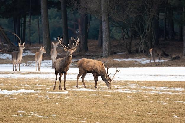Stado jeleni stojących na łące w zimie