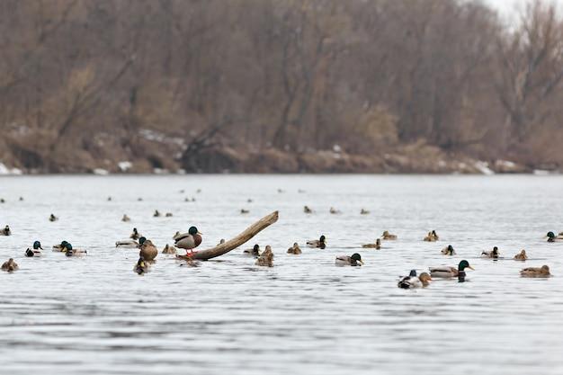 Stado kaczek na wodzie rzeki wczesną wiosną