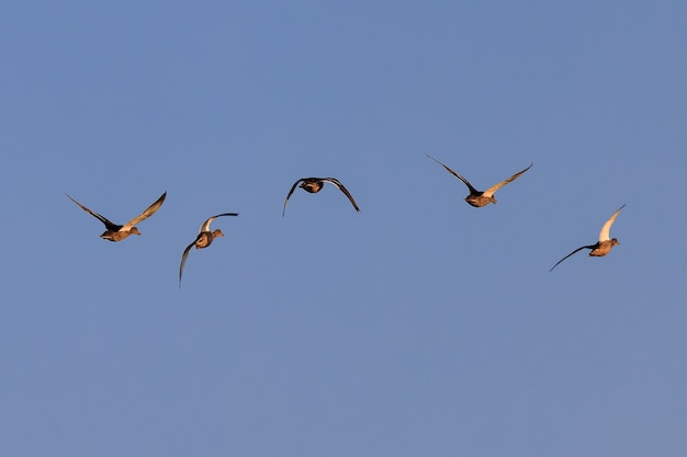 Stado kaczek w ich naturalnym środowisku