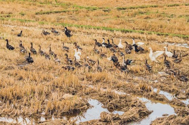 Stado kaczek żeruje na polu ryżowym.