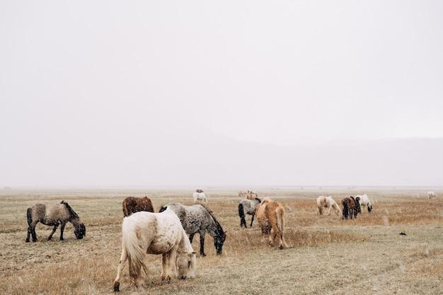 Stado koni idzie przez pole i je trawę pada śnieg słaba widoczność z powodu