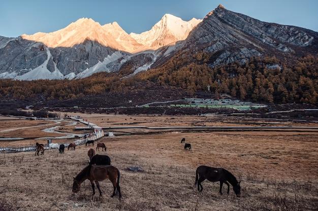 Stado koni jedzących trawę na złotej łące z promieni słonecznych na górze o zachodzie słońca. rezerwat przyrody yading, chiny