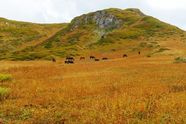 Stado koni pasie się swobodnie na górskim stepie w pochmurny dzień