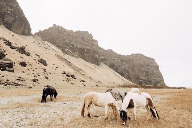 Stado koni szczypie trawę na polu na tle skalistych gór, w maju pada śnieg