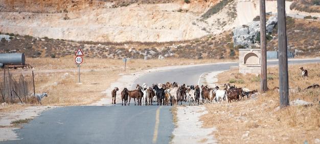 Stado kóz blokujące wiejską drogę nad śródziemnomorskim krajobrazem