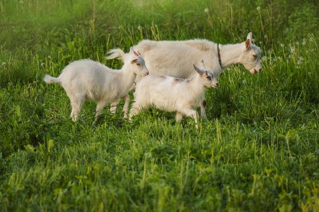Stado kóz hodowlanych. biała koza z dziećmi