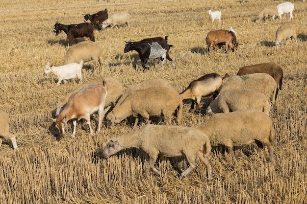 Stado kóz pasie się na skoszonym polu po zbiorze pszenicy. duże okrągłe bele stosów.