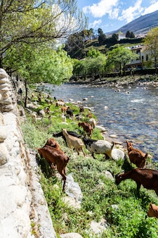 Stado kóz wypasanych nad brzegiem rzeki w miejscowości navaconcejo