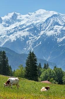 Stado krów na kwitnącej polanie i masywie górskim mont blanc (dolina chamonix, francja, widok z przedmieść plaine joux).