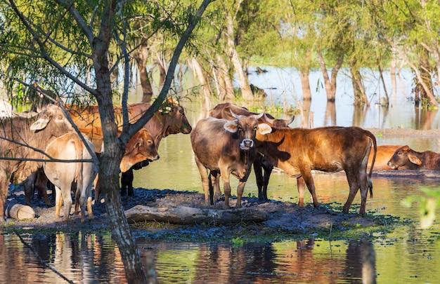 Stado krów na letnim zielonym polu .rolnictwo rolnictwo wiejskie pastwiska