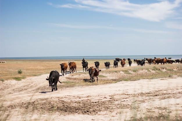 Stado krów na morzu na ukrainie.