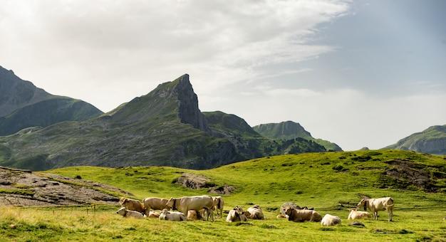 Stado krów na pastwiskach alpejskich