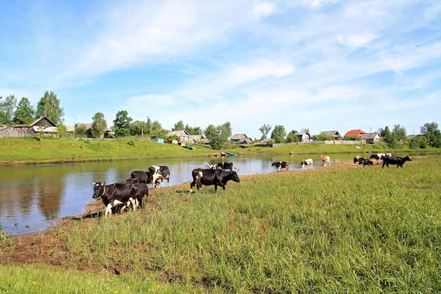 Stado krów na wybrzeżu rzeki