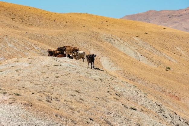 Stado krów na zboczu góry