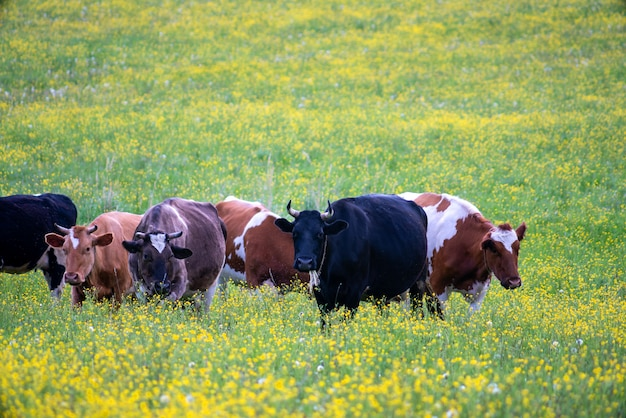 Stado krów pasie się na zielonej łące. letni zwierzak na farmie.