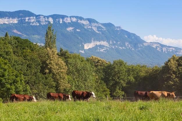 Stado krów produkujących mleko do sera gruyere we francji na wiosnę