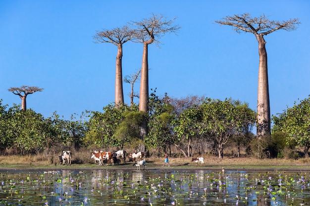 Stado krów w pobliżu baobabu, lilie wodne w stawie
