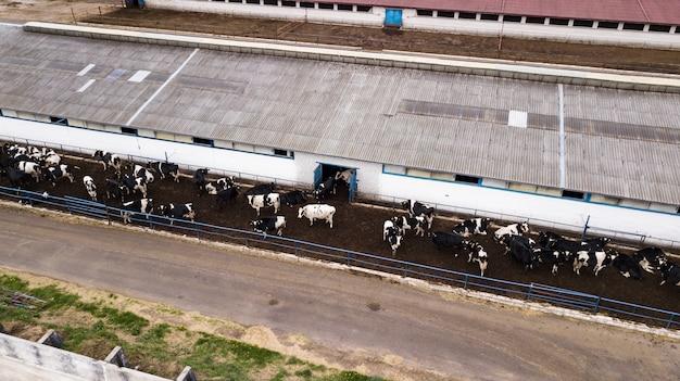 Stado krów w widoku farmy z drona