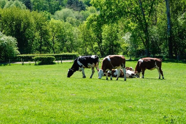 Stado krów wypasanych na pastwisku w ciągu dnia