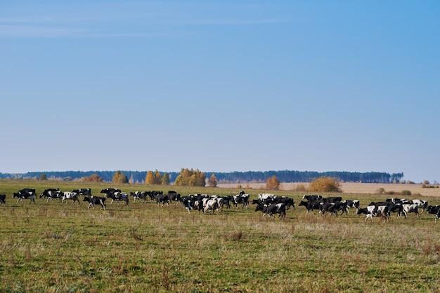 Stado krów wypasanych na zielonym polu
