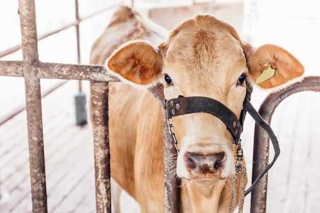 Stado krów z bliska na krów rasy american thai brahman w oborze na farmie mlecznej. pojęcie rolnictwa, hodowli i hodowli zwierząt.