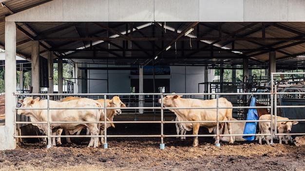 Stado krów z bliska na krów rasy american thai brahman w oborze na farmie mlecznej.