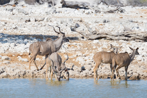 Stado kudu pije z wodopoju okaukuejo. przyroda safari w etosha parku narodowym, majestatyczny podróży miejsce przeznaczenia w namibia, afryka.