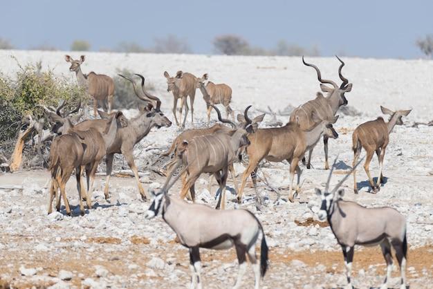 Stado kudu pije z wodopoju okaukuejo. wildlife safari w parku narodowym etosha.