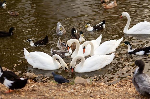 Stado łabędzi i kaczek w jeziorze w parku miejskim