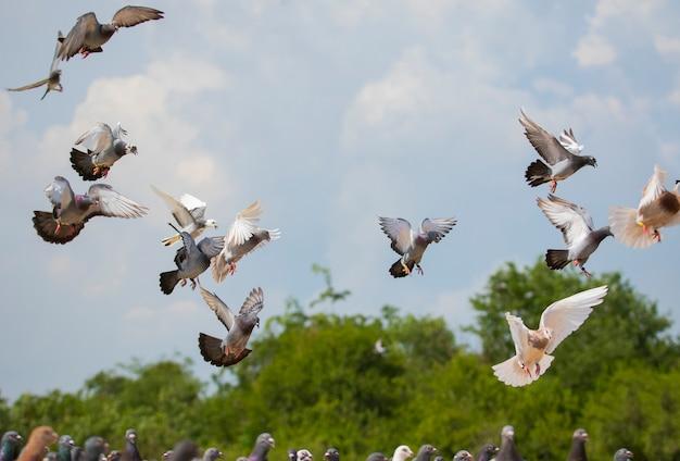 Stado latających gołębi pocztowych