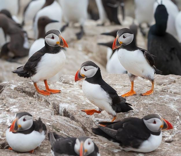 Stado maskonurów odpoczywa na skale w sezonie panierowania na wyspach farne w anglii