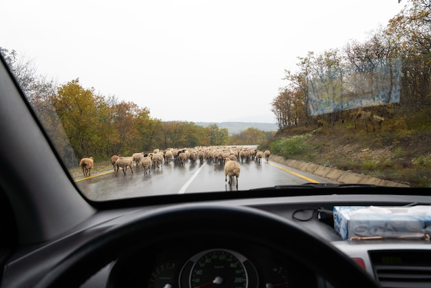 Stado owiec na drodze