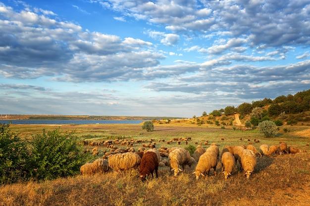 Stado owiec na łące, na tle nieba z chmurami i jeziorem