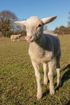 Stado owiec na łące na wsi