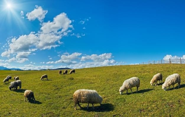 Stado owiec na pastwiskach górskich plateau (karpaty, ukraina). w przeciwnym kierunku światła słonecznego.