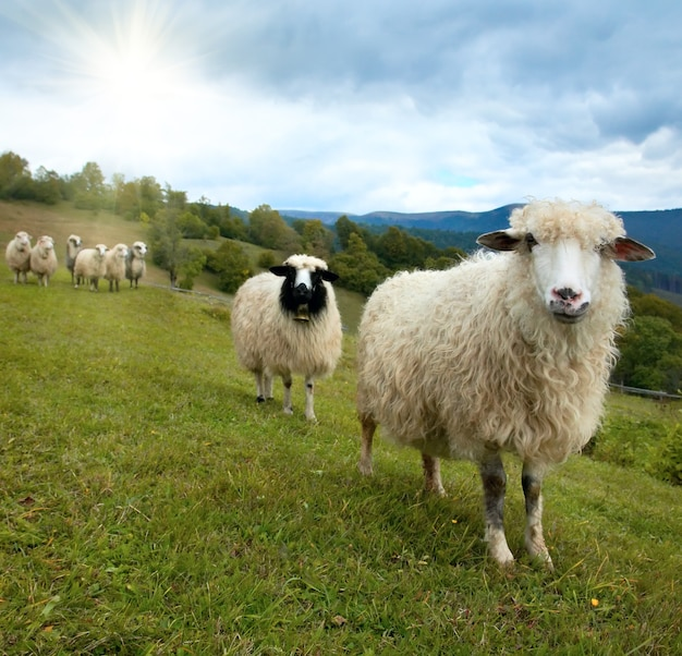 Stado owiec na pastwiskach górskich plateau (karpaty, ukraina).