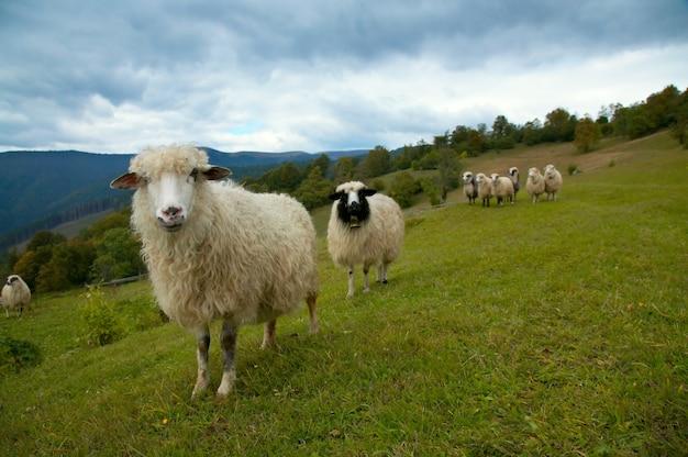 Stado owiec na pastwisku górskim płaskowyżu (karpaty, ukraina).