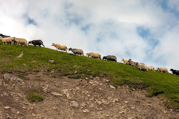 Stado owiec na pięknej górskiej łące latem.