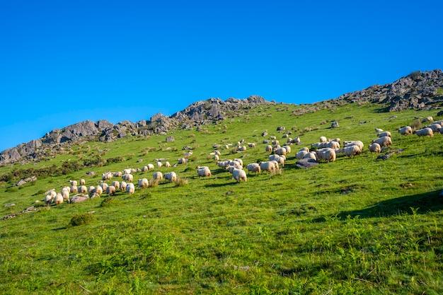 Stado owiec na szczycie monte adarra w urniecie, niedaleko san sebastian. gipuzkoa, kraj basków