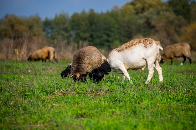 Stado owiec na zielonym polu, gospodarstwo domowe