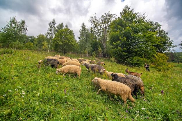 Stado owiec pasie się na polu zielonych wzgórz. rolnictwo na wsi.